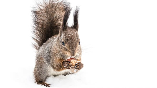 Should You Use Pest Control for Grey Squirrels?