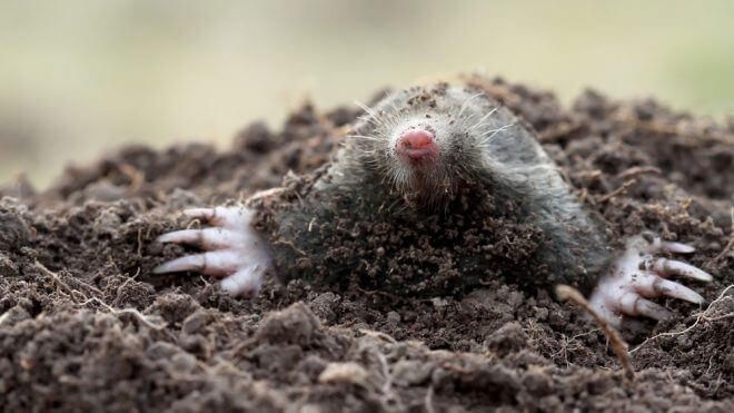 Do Mole Infestations Require Pest Control?