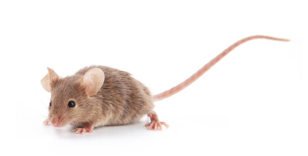 What to Do in the Event of a Rodent Problem
