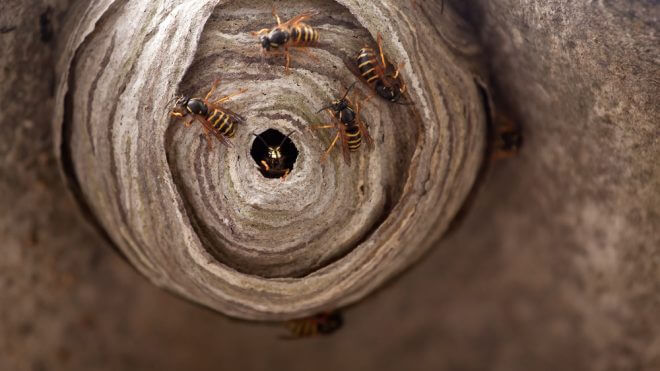How to Contend with Wasp Infestations